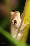 Scinax ruber tree frog