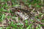 Leptodactylus fuscus frog [colombia_3741]
