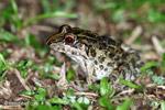 Leptodactylus gr. fuscus frog