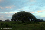 Big tree [colombia_3745]