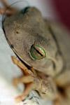 Hypsiboas crepitans treefrog in Colombia