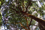 Big tree [colombia_3763]