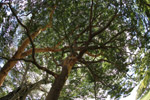 Big tree [colombia_3767]