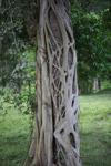 Strangler fig [colombia_3859]