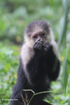 White-headed capuchin monkey [colombia_4076]