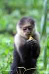 White-headed capuchin monkey [colombia_4080]