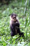 White-headed capuchin monkey [colombia_4088]