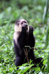 White-headed capuchin monkey [colombia_4089]