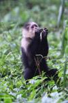White-headed capuchin monkey [colombia_4090]