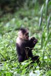 White-headed capuchin monkey [colombia_4092]