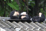 Group of capuchin monkeys resting on a roof [colombia_4100]