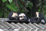 Group of capuchin monkeys grooming on a roof