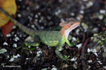 Red-headed jesus christ lizard [colombia_4123]