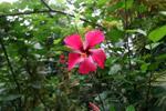 Magenta hibiscus [colombia_4124]