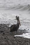 Brown Pelican (Pelecanus occidentalis) [colombia_4127]