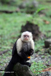 White-headed capuchin monkey eating fruit [colombia_4279]