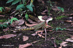 Red-headed jesus christ lizard