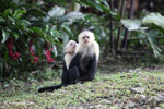 White-headed capuchin monkeys grooming [colombia_4283]
