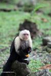 White-headed capuchin monkey fruit