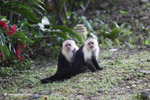 White-headed capuchin monkeys grooming