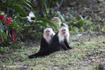 White-headed capuchin monkeys grooming