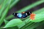 Blue Postman butterfly (Heliconius sp) [colombia_4297]