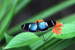 Blue Postman butterfly (Heliconius sp)