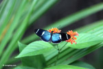 Blue Postman butterfly (Heliconius sp) [colombia_4303]