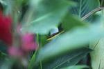 Brown Vine Snake (Oxybelis aeneus)  [colombia_4310]