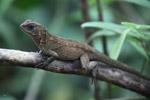 Lizard [colombia_4319]