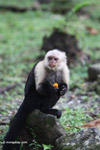 White-headed capuchin monkey eating fruit [colombia_4321]