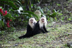 White-headed capuchins [colombia_4334]