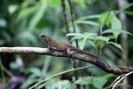 Lizard [colombia_4352]