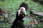 White-headed capuchin eating fruit [colombia_4356]