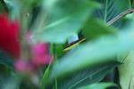 Brown Vine Snake (Oxybelis aeneus)  [colombia_4359]