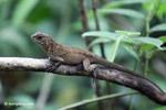 Lizard [colombia_4382]