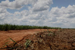 Sugar cane in Colombia [colombia_4386]