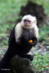 White-headed capuchin eating fruit