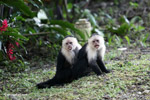 White-headed capuchin sticking out its tongue
