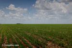 Soy field in Colombia