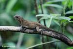 Lizard [colombia_4560]