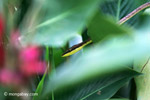 Brown Vine Snake (Oxybelis aeneus)  [colombia_4594]