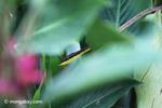 Brown Vine Snake (Oxybelis aeneus)  [colombia_4619]