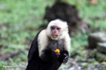 Capuchin monkey eating fruit