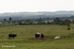 Cattle ranching in the Colombian llanos