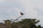 Hawk [colombia_4671]
