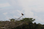 Hawk [colombia_4672]