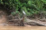 Cocoi Heron (Ardea cocoi) [colombia_4675]