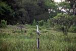 Cocui heron [colombia_4738]
