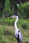 Cocui heron